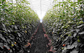 雨よけトマト栽培で反収20t