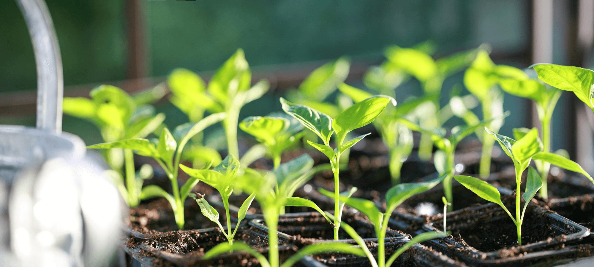 病害虫に強く 生育のよい苗を育てています