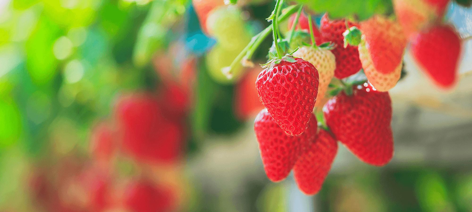 酵素資材で収量と食味を 向上させませんか?